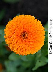 Pot Marigold (lat. Calendula officinalis)