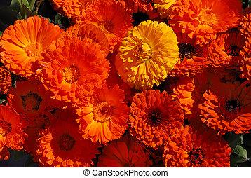 Pot Marigolds - Calendula officinalis