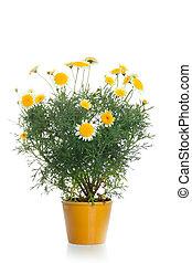 pot, met, gele, madeliefje, bloem