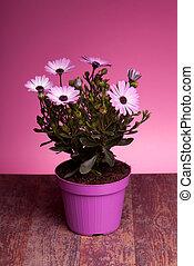 pot, met, roze, afrikaans madeliefje, (dimorphotheca, pluvialis)
