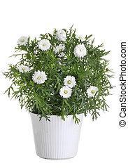 pot, met, wit madeliefje, bloem
