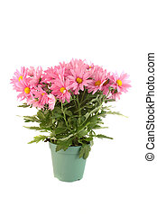 Pot of pink daisies