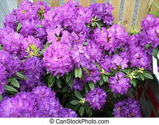 Rhododendrons flower