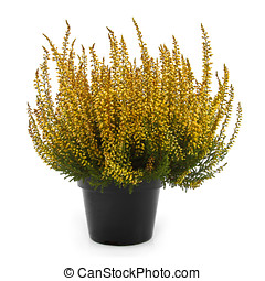 pot of yellow heather isolated on white