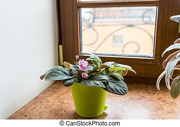 pot, rebord fenêtre, violet
