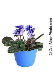 pot, viooltjes