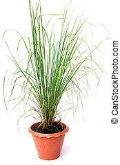 pot, vrijstaand, groene achtergrond, witte , gras