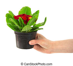 Pot with a primula in the female hand
