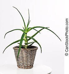 pot with aloe vera plant