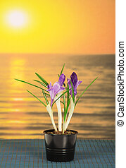 Pot with crocuses against sea sunset