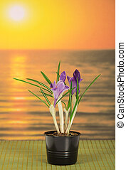 Pot with crocuses against the sea sunset