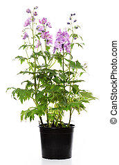 pot with delphinium plant
