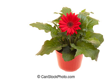 Pot With Gerbera On White