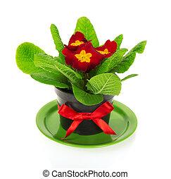 Pot with primrose on saucer - Pot with a primrose on a...
