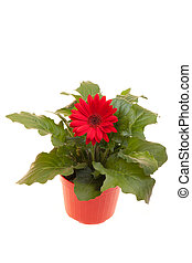 Pot With Red Gerbera Isolated