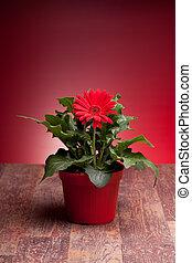 Pot With Red Gerbera