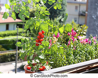 pot with tomato plant in the terrace of house