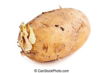 potatis, skott