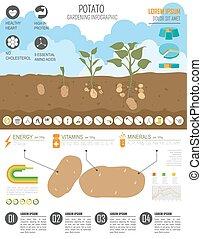 potato., appartamento, stile, grafico, lavoro, infographic., disegno, giardinaggio, agricoltura, template.
