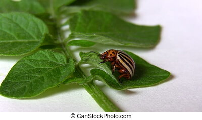 Potato beetle isolated on white - Close up of striped adult...