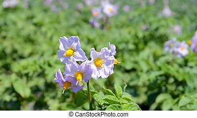potato blooming closeup on the vegetable plantation, agriculture farming,