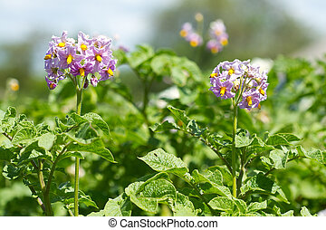 Potato bush blooming