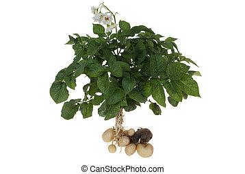 potato bush with potatoes isolated on white background