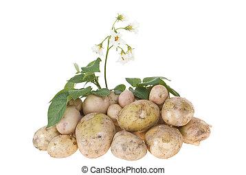 potato bush with potatoes on white background