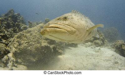 Potato cod near the reefs - A close up shot of a potato cod...