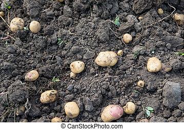 potato crop