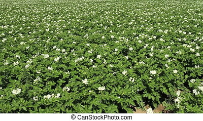 Potato crop