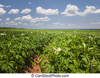 Potato field in Prince Edward Island - Closeup of flowering...