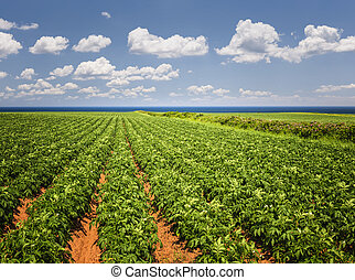 Potato field in Prince Edward Island - Rows of potato plants...