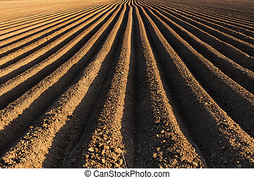Potato field in the early spring with the sowing rows running to the horizon