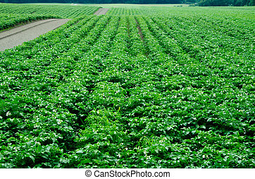 Potato field, monoculture. Ecological agriculture.