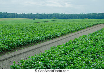 Potato field, monoculture. Ecological agriculture.