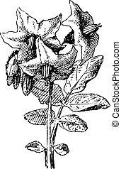Potato flower and leaf, Parmentier, vintage engraving. -...