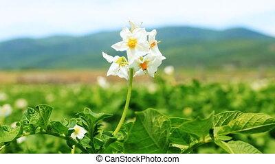 Potato flower on the field close-up