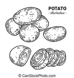 Potato fresh food vector hand drawn illustration, drawing, engraving, ink, line art, vector.