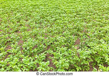 Potato growing in the field