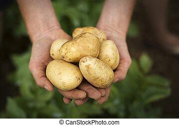 Potato - Hands holding fresh potatoes close up shoot