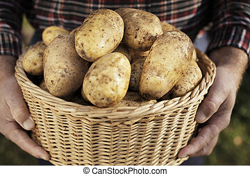 Potato Harvest - Farmer showing harvested potatoes in a ...
