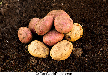 Potato harvest on the ground, in the garden