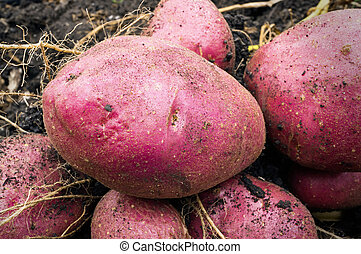 Potato harvest on the ground - Some fresh organic potatoes...