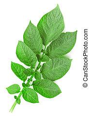 Potato leaf on a white background