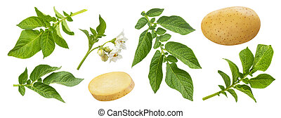 Potato plant and leaves isolated on white background