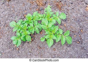 potato plant growing on the soil.Potato bush in the garden.Healthy young potato plant in organic farm