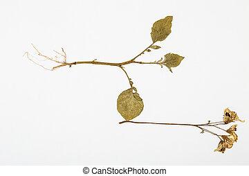 potato plant herbarium on white