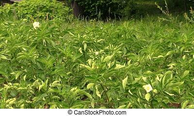 potato plant protection - Potato plant leaves and farmer...