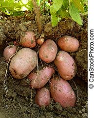 potato plant with tubers